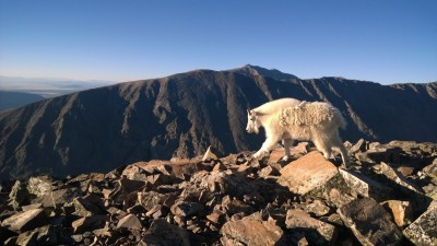 Quandary Mountain Goat