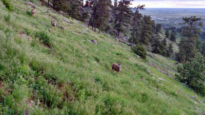 Deer_On_Sanitas_Trail