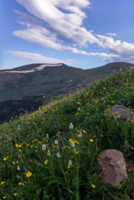 Wildflowers_on_Shoulder_Of_Mount_Bierstadt