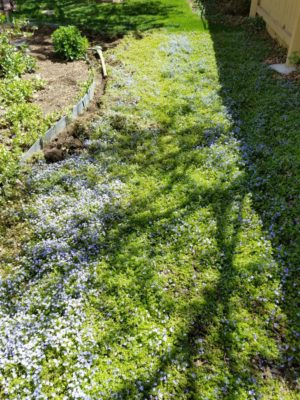 Carpet_of_Creeping_Blue_Speedwell