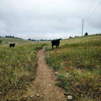 Cows_on_Flatirons_Vista