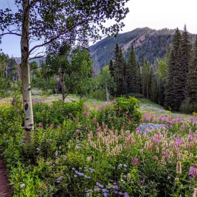 Wildflowers_Pitkin_Lake_Trail